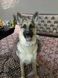 German Shepherd dog relaxing in the room stock image
