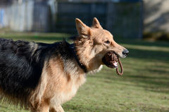 German Shepherd dog returning throw toy Royalty Free Stock Images
