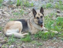German shepherd dog on the rocks stock image
