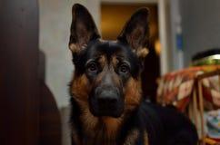 German Shepherd dog Stock Image