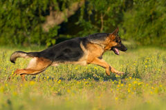 German shepherd dog run. Shephard dog run fast in park royalty free stock photography