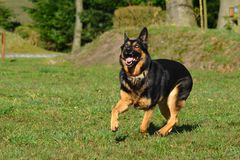 German Shepherd Dog. Running black and brown german shepherd dog Stock Photos