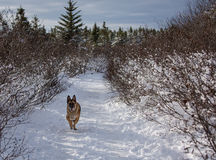 German Shepherd Dog running down a snow covered path Royalty Free Stock Image