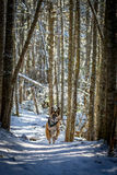 German Shepherd Dog running down trail. German Shepherd Dog running down snow covered path in the woods stock images