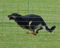 German Shepherd dog running fast. German Shepherd colors are various shades of black and tan Royalty Free Stock Photos