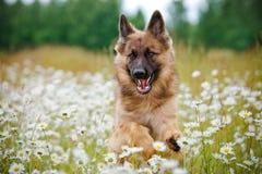 German shepherd dog running on a field Stock Image