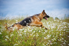 German shepherd dog running on a field Royalty Free Stock Images