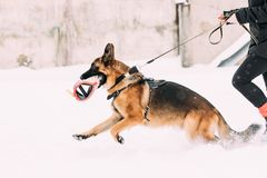 German Shepherd Dog Running Near Owner During Winter Training. Training Of Purebred Adult Alsatian Wolf Dog. Dog Holding. Training Sleeve In Jaws royalty free stock images