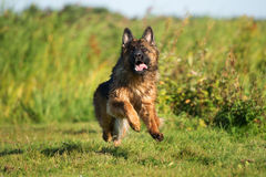 German shepherd dog running outdoors Stock Photography