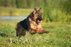 German shepherd dog running outdoors Stock Image