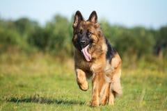 German shepherd dog running outdoors Stock Photos