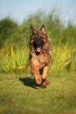 German shepherd dog running outdoors Royalty Free Stock Photo
