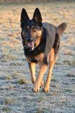 German Shepherd Dog. Running over a iced meadow royalty free stock photos