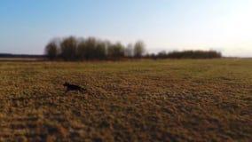German shepherd dog running in slow motion. Aerial footage. stock footage