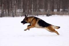 German Shepherd dog. Running on the snow Royalty Free Stock Photos