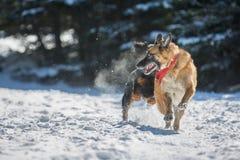 German Shepherd dog running in the snow being chased by another. German Shepherd dog being chased by another dog and running away in the snow Stock Photo