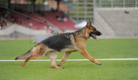 German shepherd dog running Royalty Free Stock Image