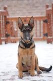 German Shepherd Dog. 's first time in the snow Royalty Free Stock Photography