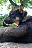 German Shepherd dog with sad eyes. Stock Images