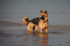 German Shepherd Dog in the sea. Long coated, black and gold German shepherd dog standing in the sea royalty free stock photography