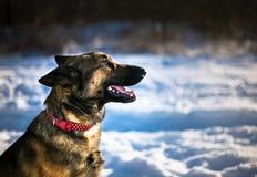 German shepherd dog. German shepard dog sitting in snow Stock Image