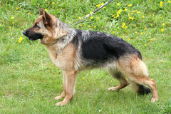 German Shepherd Dog Short-haired in a garden Royalty Free Stock Photo