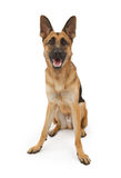 German Shepherd Dog Sitting Down royalty free stock images