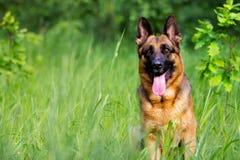 German shepherd dog sitting royalty free stock photo