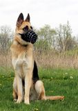 German Shepherd Dog sitting in meadow. German Shepherd Dog wearing muzzle, collar, and tag sitting in a prairie meadow looking out of the frame stock photography