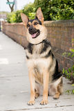 German Shepherd Dog Sitting stock images