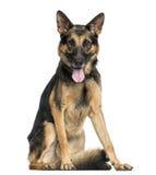 German Shepherd dog sitting, panting, looking at the camera Royalty Free Stock Image