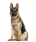 German Shepherd Dog sitting and panting (1 year old) Stock Photos