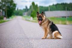 German shepherd dog sitting on the road Stock Photo