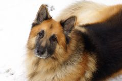 German Shepherd dog sitting on the snow Royalty Free Stock Photo