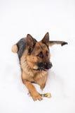 German Shepherd dog, sitting on snow with bone Stock Images