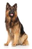 German shepherd dog sitting Royalty Free Stock Photography