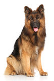 German shepherd dog sitting Stock Photos