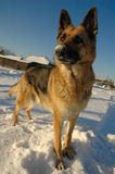 German shepherd dog on the snow Royalty Free Stock Photos