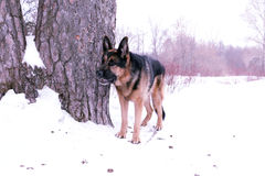 German shepherd dog on snow. In winter day Stock Photography