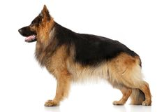 German shepherd dog in stand. On a white background Royalty Free Stock Photos