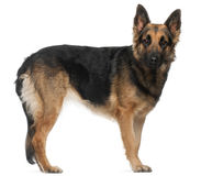 German Shepherd Dog, standing Royalty Free Stock Photo
