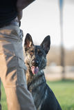 German Shepherd dog standing behind a person`s leg Stock Photography