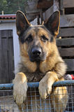 German Shepherd Dog standing by the Fence Royalty Free Stock Photos