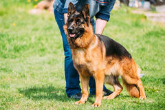 German Shepherd Dog Standing In Green Grass Near Owner During Training. Summer Season. Training Of Purebred Adult Alsatian Wolf Dog royalty free stock photography