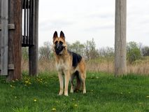 German Shepherd Dog standing in meadow Royalty Free Stock Photos