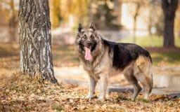 German shepherd dog. German shepherd standing in the park Stock Images