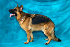 German Shepherd Dog Standing In Profile. A young german shepherd dog in studio against blue backdrop standing in profile facing left Stock Photo