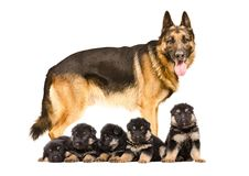 German Shepherd dog standing with puppies. Isolated on white background stock photos