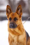 German Shepherd dog. Standing in the snow Royalty Free Stock Photography