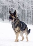 German shepherd dog. Standing in snow, winter forest in the background royalty free stock images